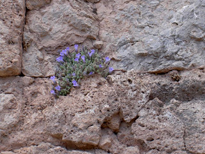 Violets-on-rock-wall